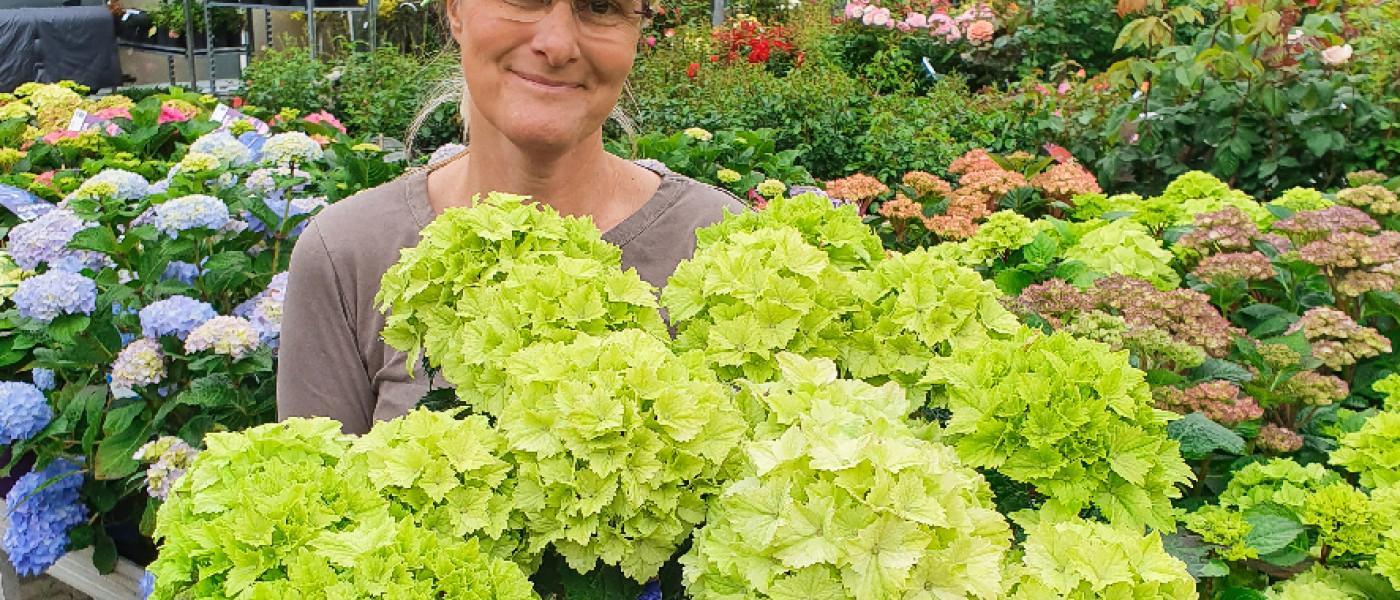 Hortensien mit endloser Blüte und unser neuer Hingucker!