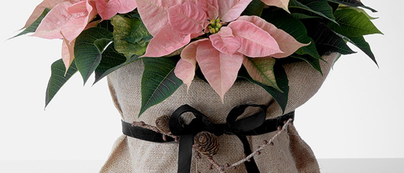 Liebevolle Geschenkideen mit dem Weihnachtsstern