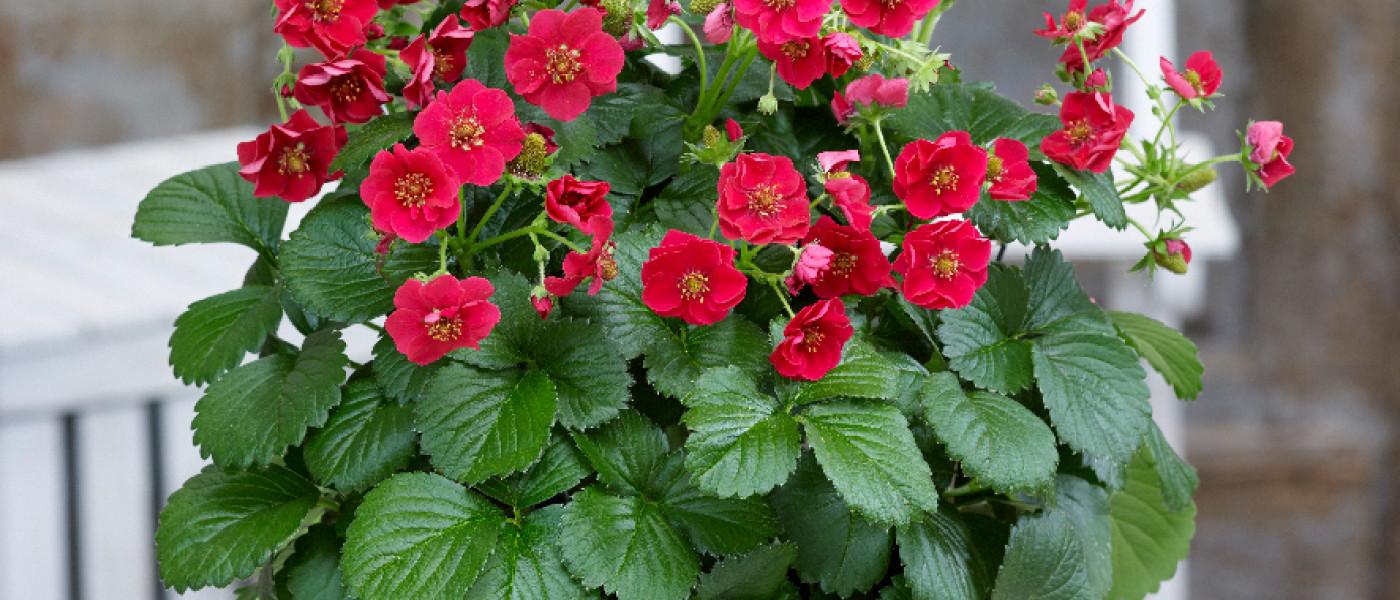 Summer Breeze Rose – leckerer Blickfang für Balkon und Terrasse