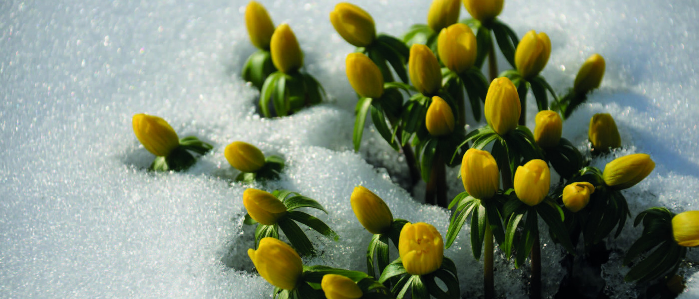 Winterliche - gelbe Blütenteppiche gegen den Winterblues!