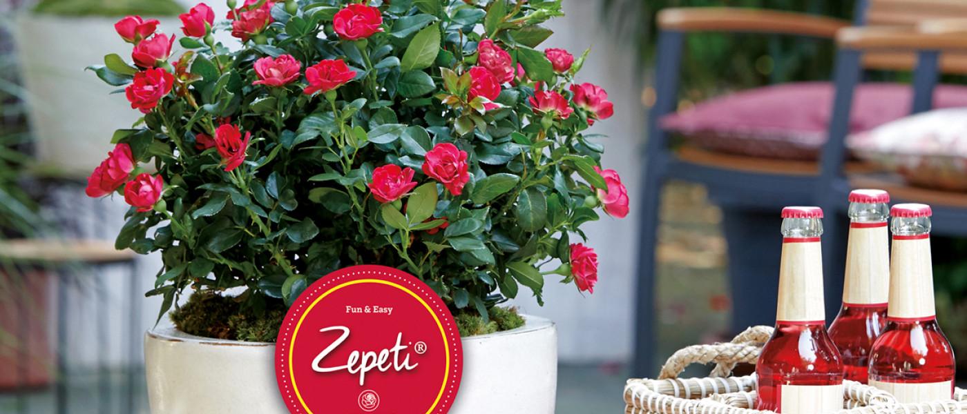 ZEPETI  -  eine Rose ohne Diva-Allüren