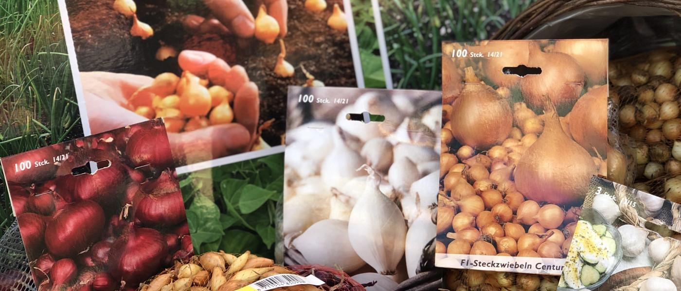 Zwiebeln und Schalotten aus dem eigenen Garten