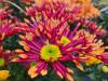 Chrysantheme Sonderfarbe