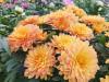 Herbst Chrysantheme