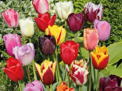 Triumph-Tulpen