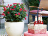 Zepeti Rose