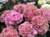 Hortensie Zimmerpflanze