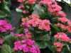 Kalanchoe Zimmerpflanze