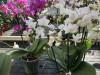 vielblütige Schmetterlingsorchidee